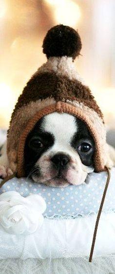 Boston Terrier puppy + beanie = ADORABLE X100