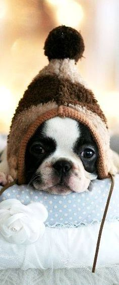 Boston Terrier puppy + beanie = ADORABLE X100