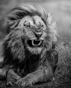 No that's definitely a ROAR Lion Love, Cute Lion, Lion And Lioness, Lion Of Judah, Aigle Animal, Animals And Pets, Cute Animals, Lion Photography, Brust Tattoo