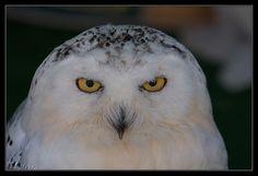 mussol nival - Snowy Owl - Buho nival | by esteve1