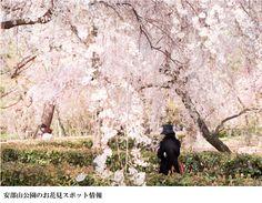 安部山公園 福岡お花見特集