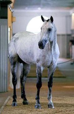 Hanoverian stallion