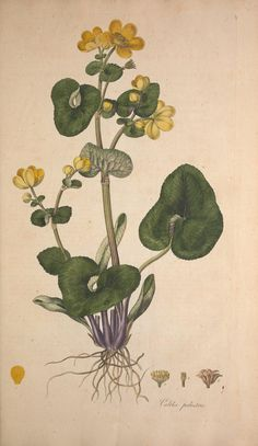 Caltha palustris. Flora Londinensis v.1 London :Printed for and sold by the author ... and B. White,1777. Biodiversitylibrary. Biodivlibrary. BHL. Biodiversity Heritage Library
