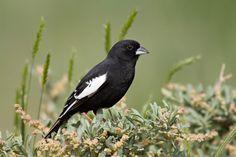 Lark Bunting State Bird Of Colorado
