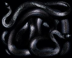 Fine Art Photo, Photo Art, Mexican Black Kingsnake, Milk Snake, Cute Reptiles, Snake Art, Beautiful Snakes, Slytherin Aesthetic, Black Mamba