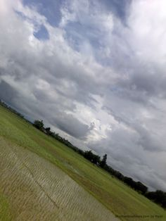 Rice Field in Tinsukia Assam