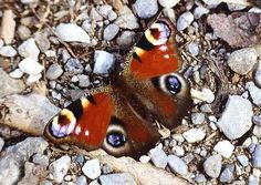 Peacock buterfly  Such beautiful colors!!
