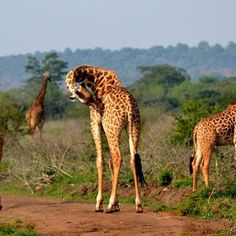 The Akagera national park is a gorgeous Rwandan jewel that deserves to be visited. #akagera #rwanda #africa #wildlife #park #game