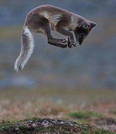 Arctic Fox by Aleksander Myklebust