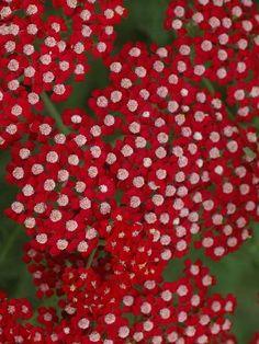 "Perennials - Achillea ""laura"" // Great Gardens & Ideas"