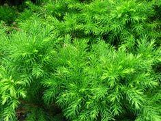 Cryptomeria japonica 'Elegans Nana' Garden Paths, Landscaping, Herbs, Yard Landscaping, Herb, Landscape Architecture, Garden Design, Landscape Design, Medicinal Plants