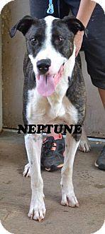 Athens, AL - Great Dane. Meet Neptune, a dog for adoption. http://www.adoptapet.com/pet/13113942-athens-alabama-great-dane