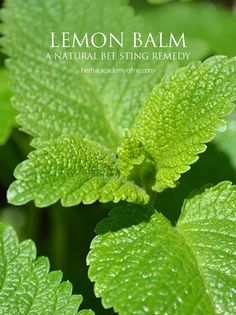 Lemon Balm as a natural bee sting remedy