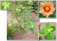 sida cordifolia - Pesquisa Google