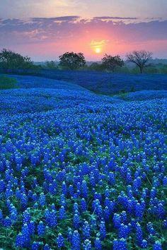 Gorgeous sunrise with Texas blubonnets!