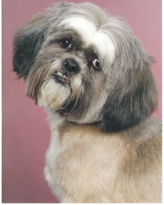 """Tilly-Lhasa Apso • Senior • Female • Small -  Second Chance Companions Battle Ground, WA  Tilly is a wonderfully sweet """"senior citizen"""". She is quiet and very loving. She needs a quiet home to grow old in. Her current owner needs to give her up because of the owner's poor health. Tilly has recently been diagnosed as diabetic and is on daily insulin. She has also recently lost her sight. Tilly would be best in a home where she is """"top dog"""" - in other words, as the only dog..."""