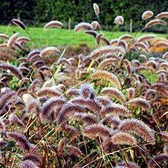 Pase Seeds - Setaria Viridis Caramel, $3.49 (http://www.paseseeds.com/setaria-viridis-caramel/)