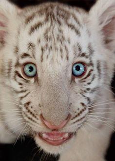 Wildlife in Need, Inc. pet baby tigers!