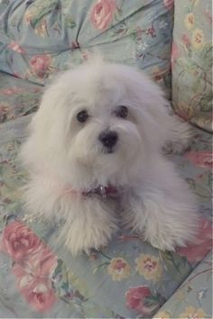 Bella (Maltese) after her bath