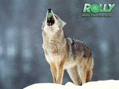 Photo of alskan wolf for fans of Save the Alaskan Wolves! Wolf Photos, Wolf Pictures, Animal Pictures, Animals Images, Of Wolf And Man, Angry Wolf, Timberwolf, Wolf Life, Howl At The Moon