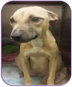 SILENT KILL 9-16-2015 --- SUPER URGENT Brooklyn Center SEDONA – A1051504  FEMALE, BROWN, PIT BULL MIX, 2 yrs STRAY – STRAY WAIT, NO HOLD Reason STRAY Intake condition UNSPECIFIE Intake Date 09/14/2015