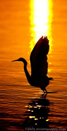 Wader flying against the sun in Estero Lagoon, Florida. Credit: Fabs Forns