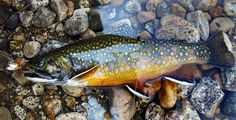 Brook trout laying on ground on fly by houstonryan, via Flickr