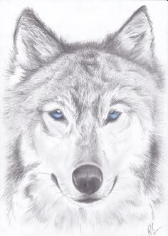 wolf drawings - Google Search