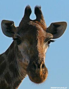 Giraffe female    PHOTOGRAPHY BY BRAAM BYLEVELDT, SABI SANDS, SOUTH AFRICA