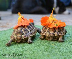 #Chelonian #SpurThigh #Tortoise