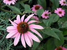 I live in the south and don't have coneflowers?  Flanking the mailbox would be nice (esp since the clematis gave up)!