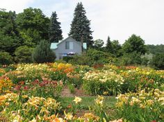 More than 700 daylily varieties in bloom during Nottawasaga Daylilies Peak Bloom Tours, July Open Friday through Monday. Day Lilies, Vineyard, Bloom, Lily, August 15, Tours, House Styles, Photographs, Friday