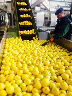 Lemon heaven in Reggio Calabria.