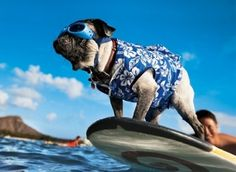 Surfing dog!