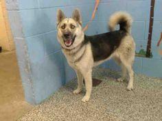 German Shepherd Dog dog for Adoption in San Bernardino, CA. ADN-409305 on PuppyFinder.com Gender: Female. Age: Adult
