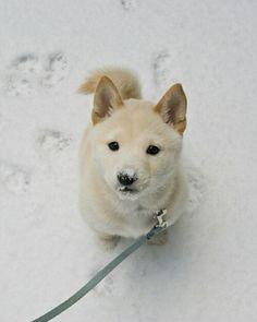 White huskie