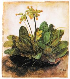 "artist-durer: ""Primula, Albrecht Durer "" Albrecht Dürer, a painter, printmaker, and theorist of the German Renaissance. Illustration Botanique, Art Et Illustration, Botanical Illustration, Illustrations, Albrecht Durer, Botanical Drawings, Botanical Prints, Art Floral, National Gallery Of Art"