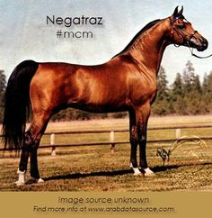 This week, we're crushing on the majestic Negatraz, a purebred Arabian stallion! This *Bask++ son was foaled in 1971. #MCM #ArabianHorses