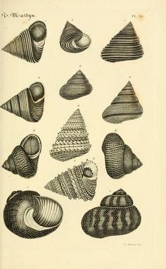 Le conchyliologiste universel, ou, Figures des coquilles jusqu'à présent inconnues recueillies en divers voyages a la mer du sud depuis l'année 1764 / - Biodiversity Heritage Library