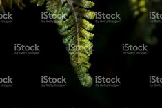 Soft Sunlight on New Life. with on Unfurling Frond. Royalty-Free Images available for all your & Needs. More Images available in my Portfolio. See Link in Bio. Royalty Free Images, Royalty Free Stock Photos, Commercial Art, More Images, New Life, Image Now, Fern Frond, Sunlight, New Zealand