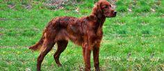 Irish Setter Pup ~ Classic Look Most Beautiful Dog Breeds, Beautiful Dogs, Red And White Setter, Gordon Setter, Flat Coated Retriever, Red Dog, English Setter, Dog Park, Irish