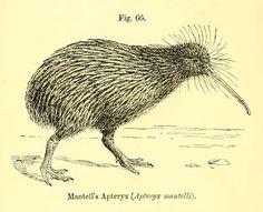 Fig. 66. Kiwi. Birds: the elements of ornithology . 1896.