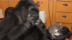 She completely loves and cares for them as she would children of her own.   Koko The Gorilla Made New Kitten Friends For Her 44th Birthday
