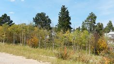 Gold Trees Sept.23, 2012  :    DSCN7071