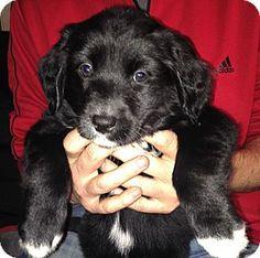 Toms River, NJ - Labrador Retriever/Flat-Coated Retriever Mix. Meet Anna, a puppy for adoption. http://www.adoptapet.com/pet/12199613-toms-river-new-jersey-labrador-retriever-mix