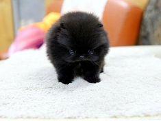 TooLoud Pomeranian Sitting All Cute-Like Infant T-Shirt Dark