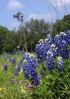 Bluebonnets on the Ranch, Peter Anderson