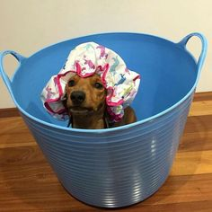 Dachshunds Will Either LOVE or HATE Bath Time. How Does Yours Feel About It? - Barmy Pets