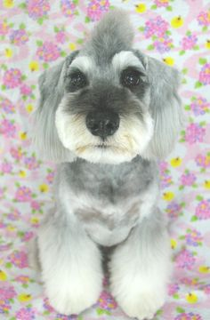 schnauzer what the heck were they thinking when they gave this guy a haircut?!!!