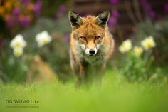 Red Fox - Red Foxes are striking animals and we consider ourselves very lucky to…